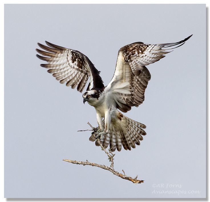 Osprey clipart bird prey Best Forns hale on 25