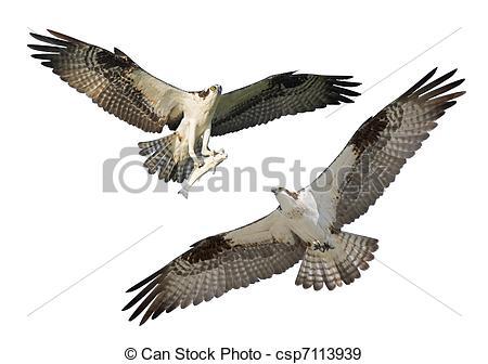 Osprey clipart bird prey Florida Photographs in of Stock
