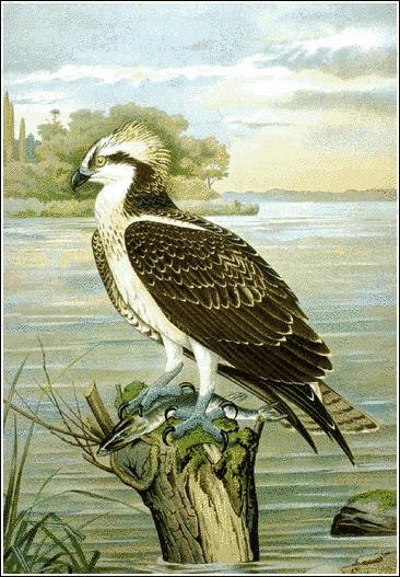 Bird Of Prey clipart soaring eagle Art With Fish Prey Osprey