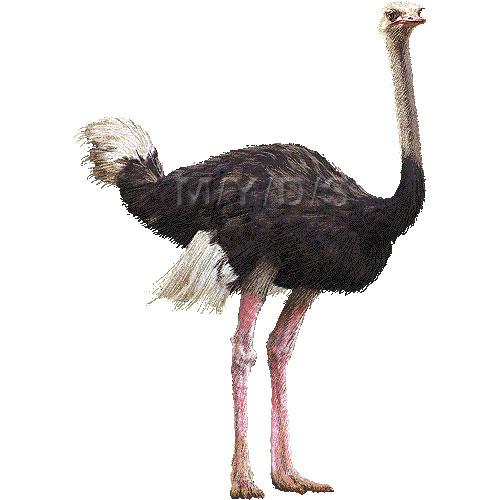 Ostrich clipart Graphics clipart Ostrich clip art