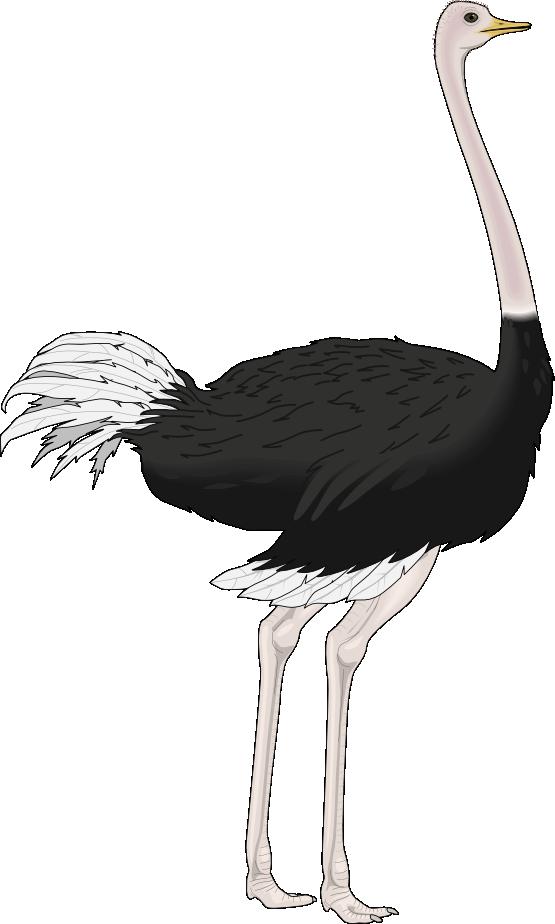 Ostrich clipart Art Free ostrich2 Ostrich ·