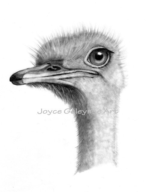 Ostrich clipart sketch Drawing Ostrich on images Freehand