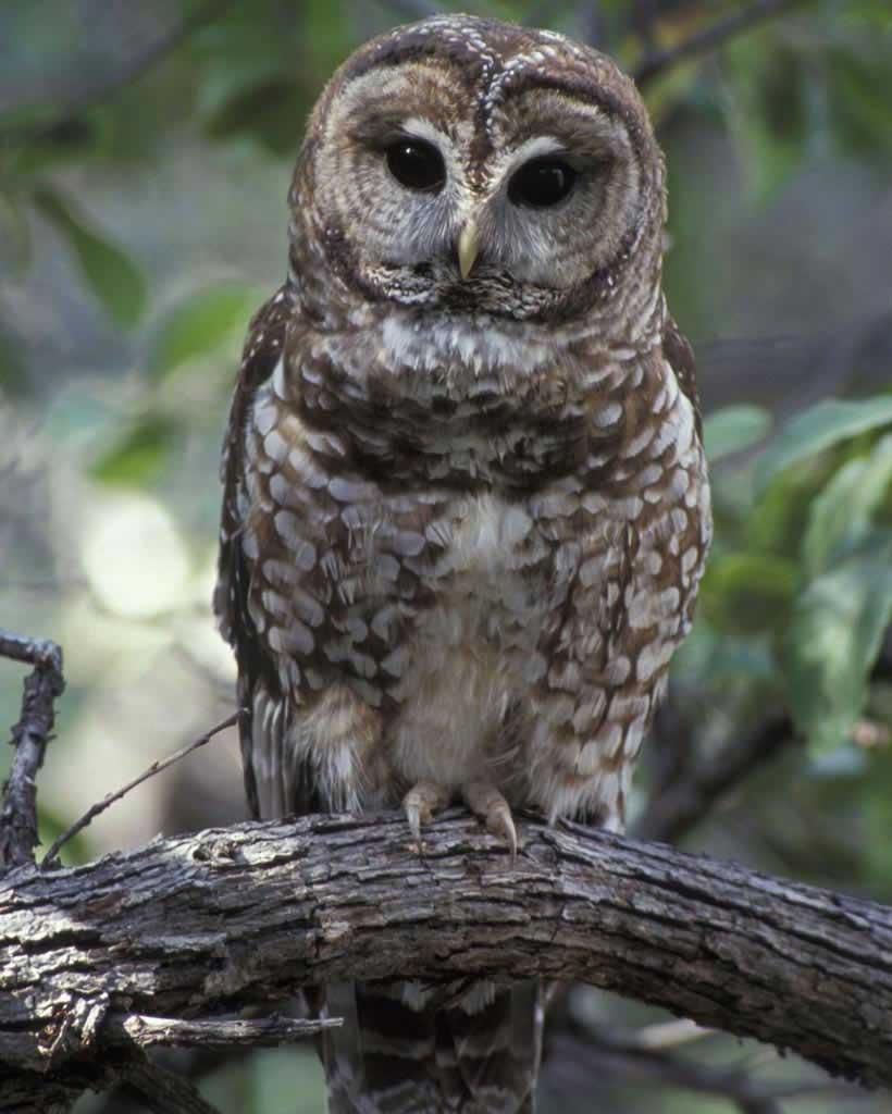 Owlet clipart mexican Adult Owl Audubon  Mexican
