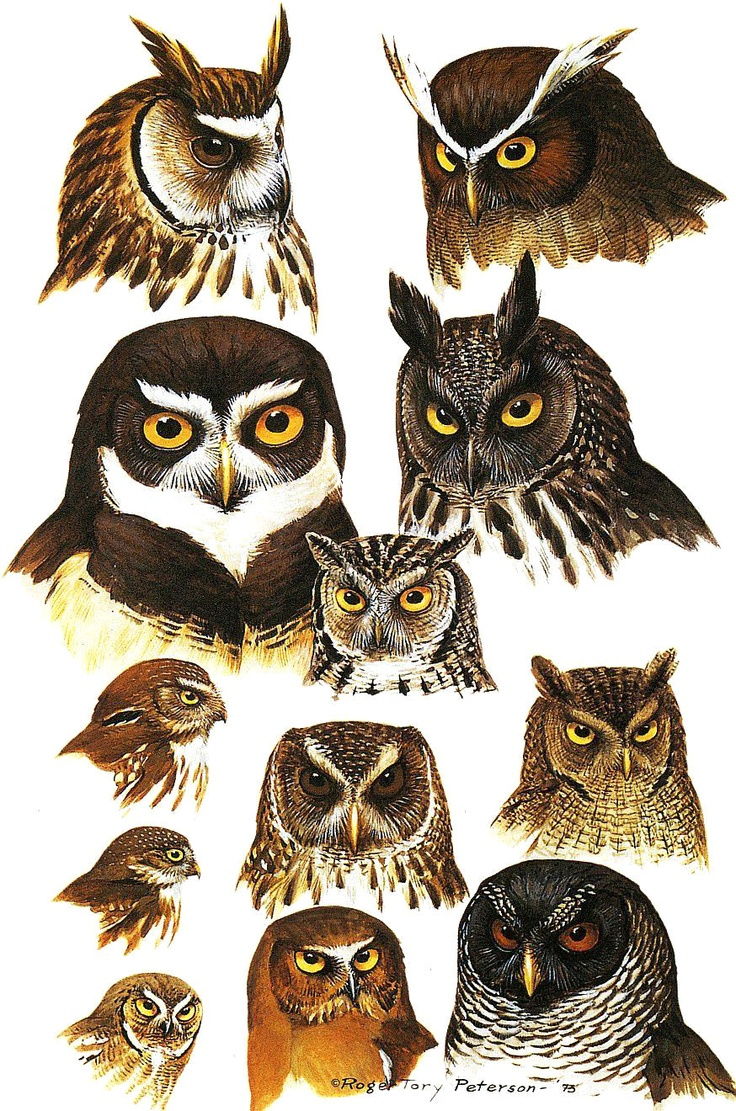 Owlet clipart mexican 183 and Naturalist Pinterest