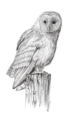 Owlet clipart pencil Drawings Owl Pictures Owl Pics