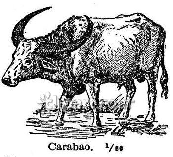 Ox clipart carabao Edition School  Clipart com