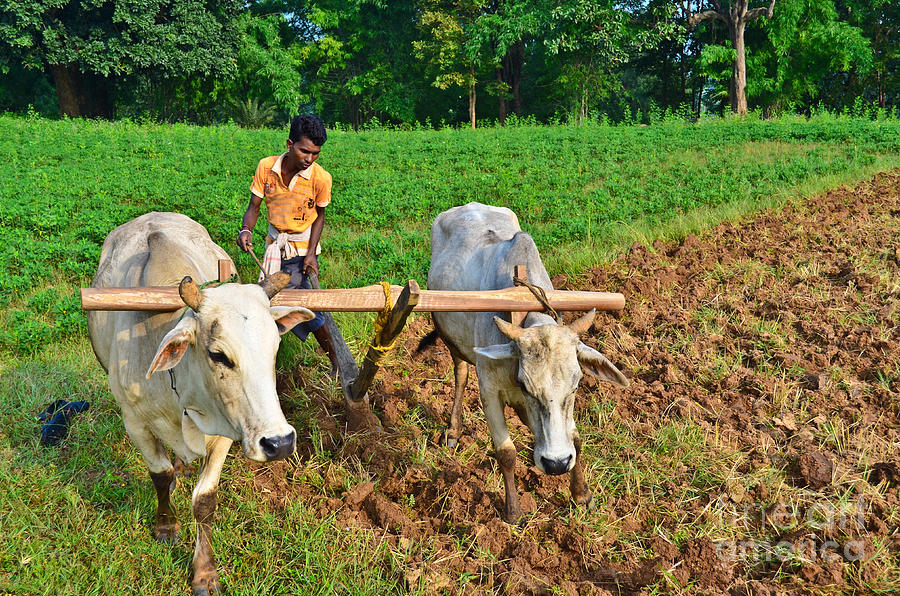 Cattle clipart indian farming #12