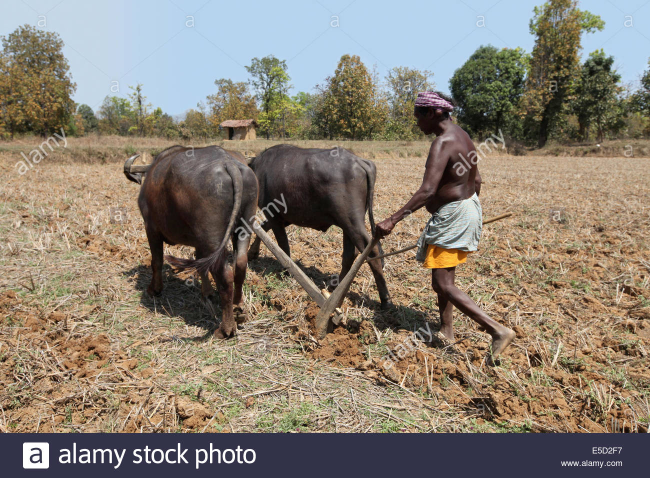 Ox clipart ploughing Tribe With Field Farmer Agaria
