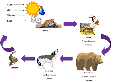 Arctic Wolf clipart tundra animal Food Tundra Chain! Tundra