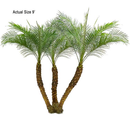 Palm Tree clipart real Large Codes Multi Zip Pygmy