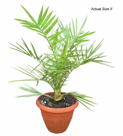 Palm Tree clipart real Date Island Palm Date Canariensis