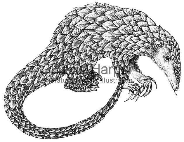 Pangolin clipart Penguin Clipart WITH Search 83 PANGOLINS Pinterest