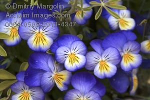 Pansy clipart blue #5