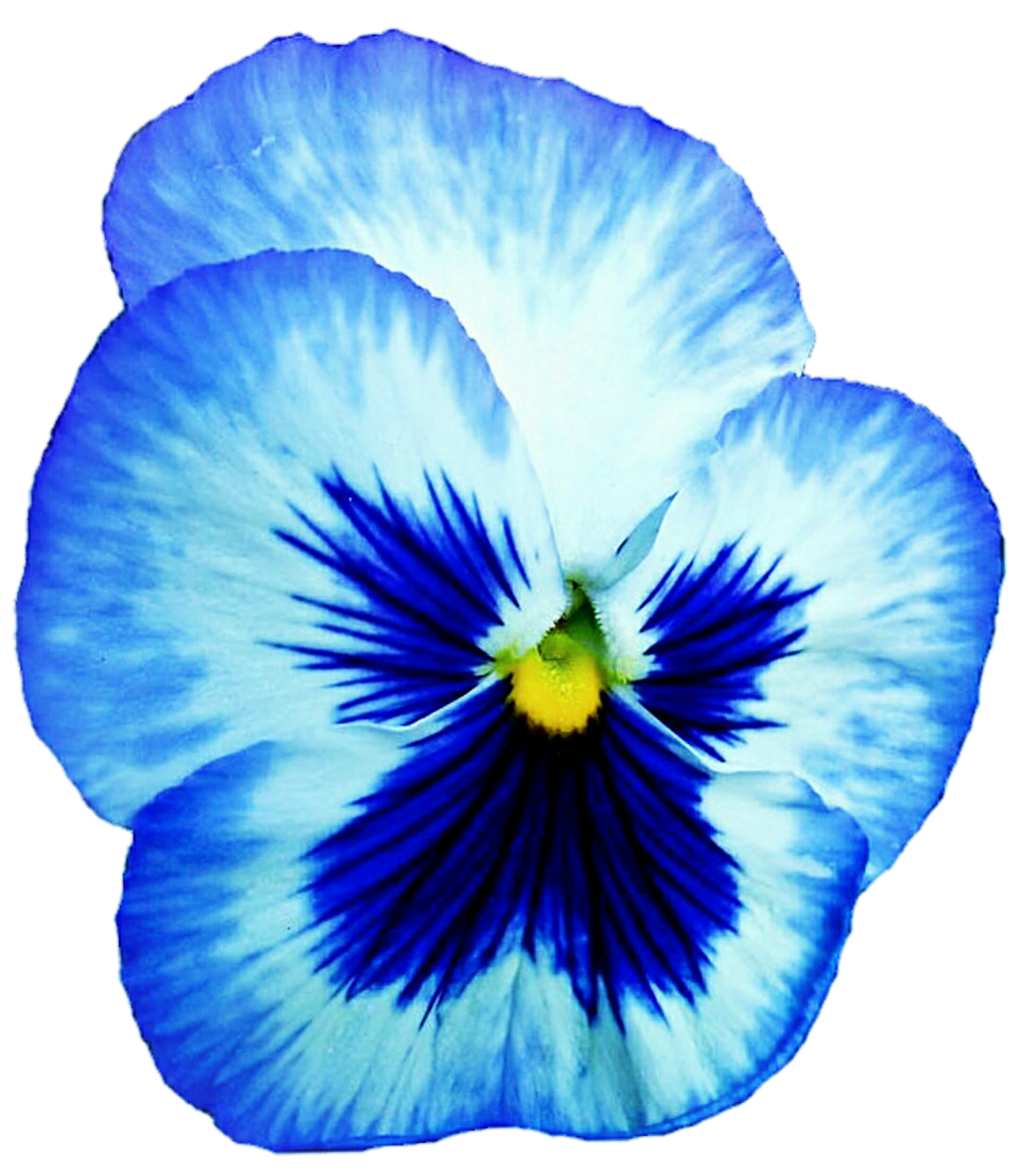 Pansy clipart blue #2