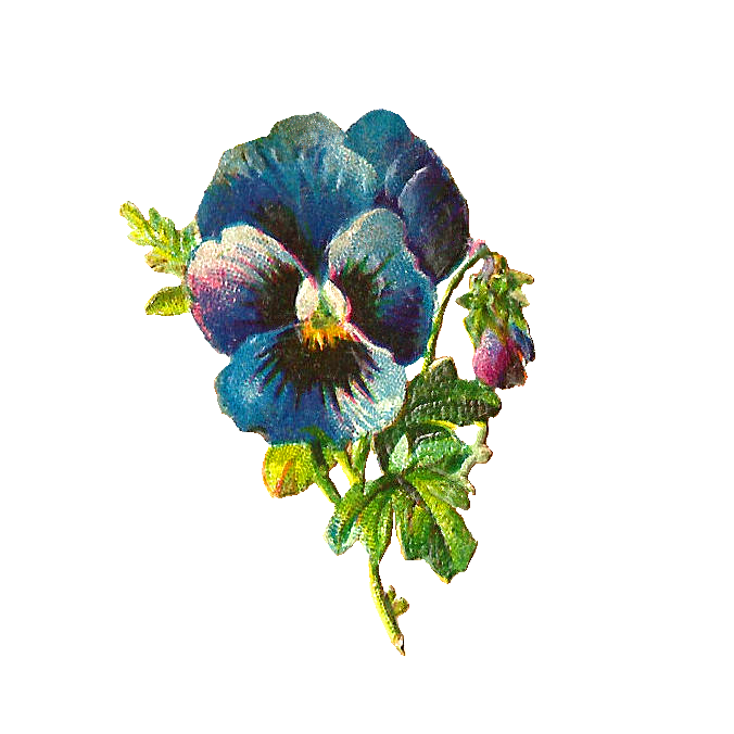Pansy clipart blue #1