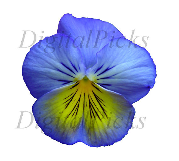 Pansy clipart blue #4