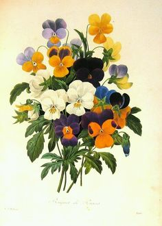 Pansy clipart botanical Vintage Seed on Botanica and