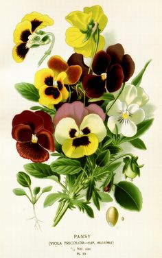 Pansy clipart botanical The Pinterest three Graphics: edited