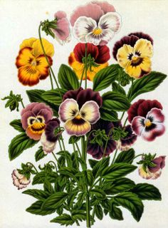 Pansy clipart botanical Severeyns Google painting by the
