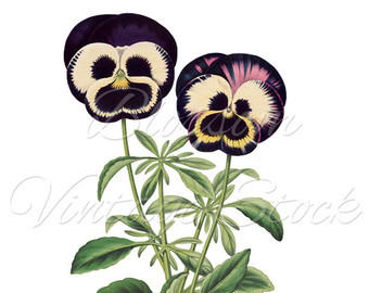 Pansy clipart botanical For Pansy Clipart Vintage Artwork