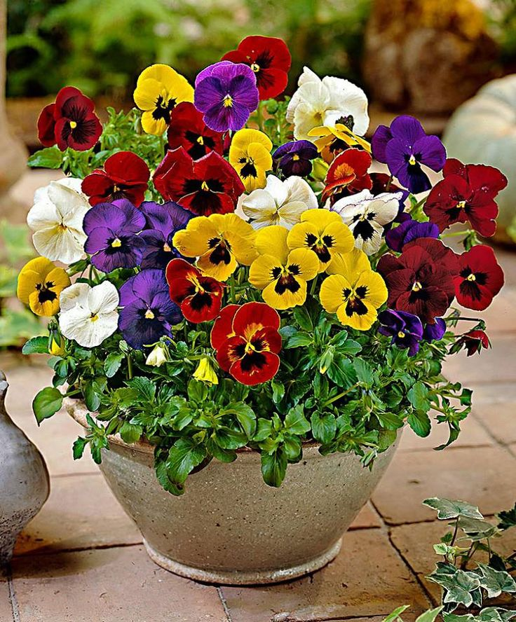 Pansy clipart potted flower #11