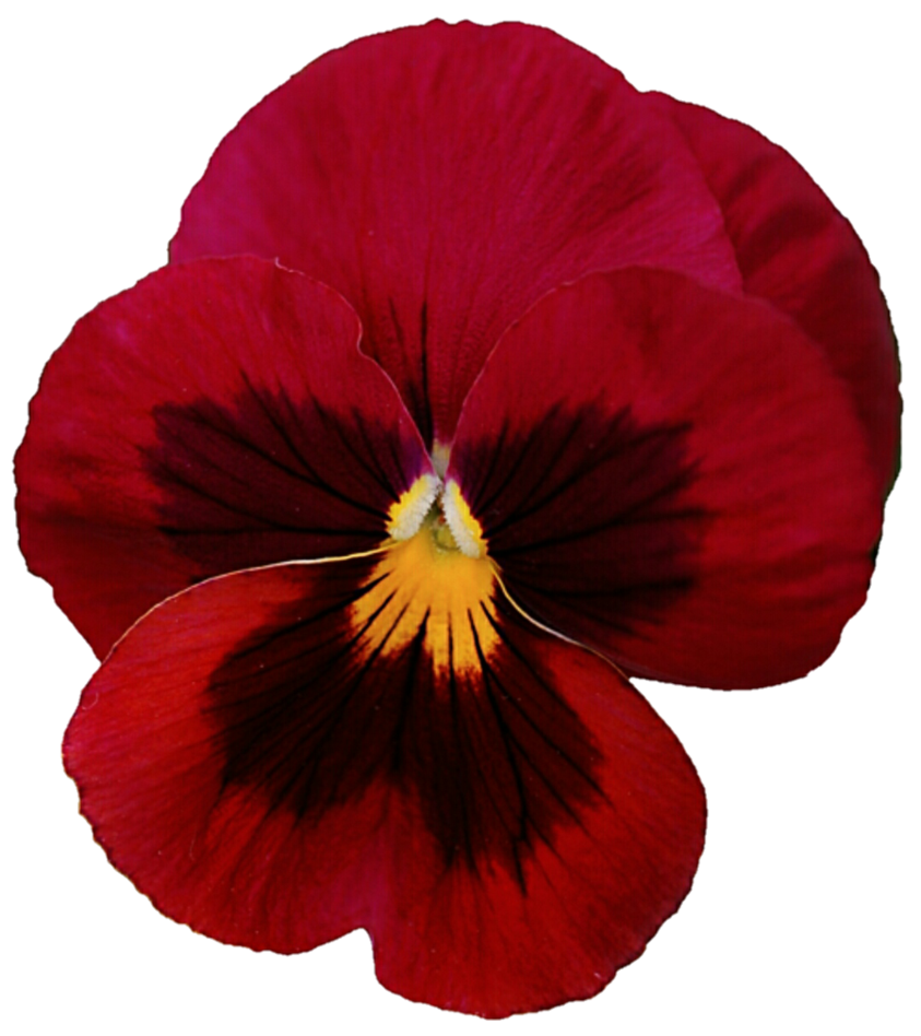 Pansy clipart red By DeviantArt Pansy jeanicebartzen27 by