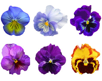 Pansy clipart single Pansy Clip Etsy Pansy Clipart