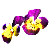 Pansy clipart spring flower #4