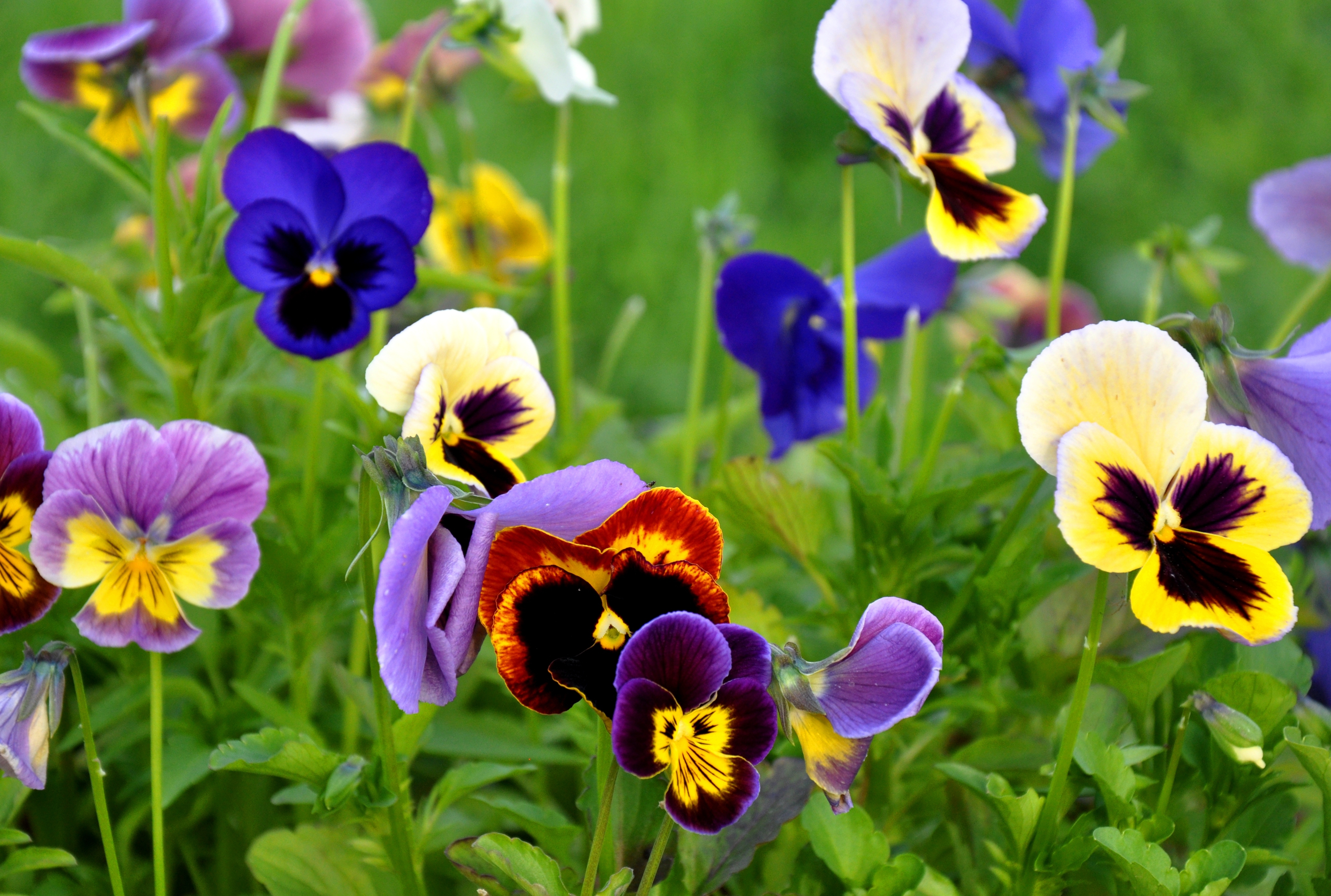 Pansy clipart spring flower #10