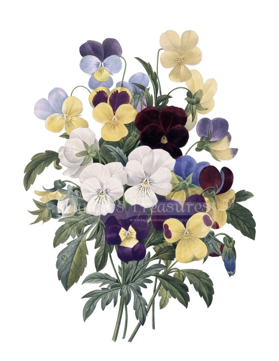 Pansy clipart vintage #3