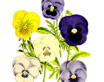 Pansy clipart vintage #9