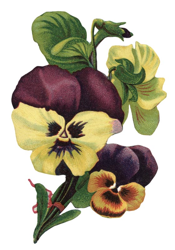 Pansy clipart vintage #7