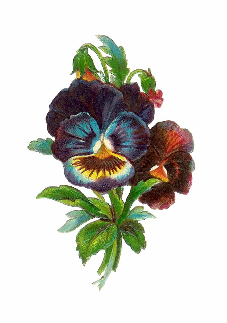 Pansy clipart vintage #6