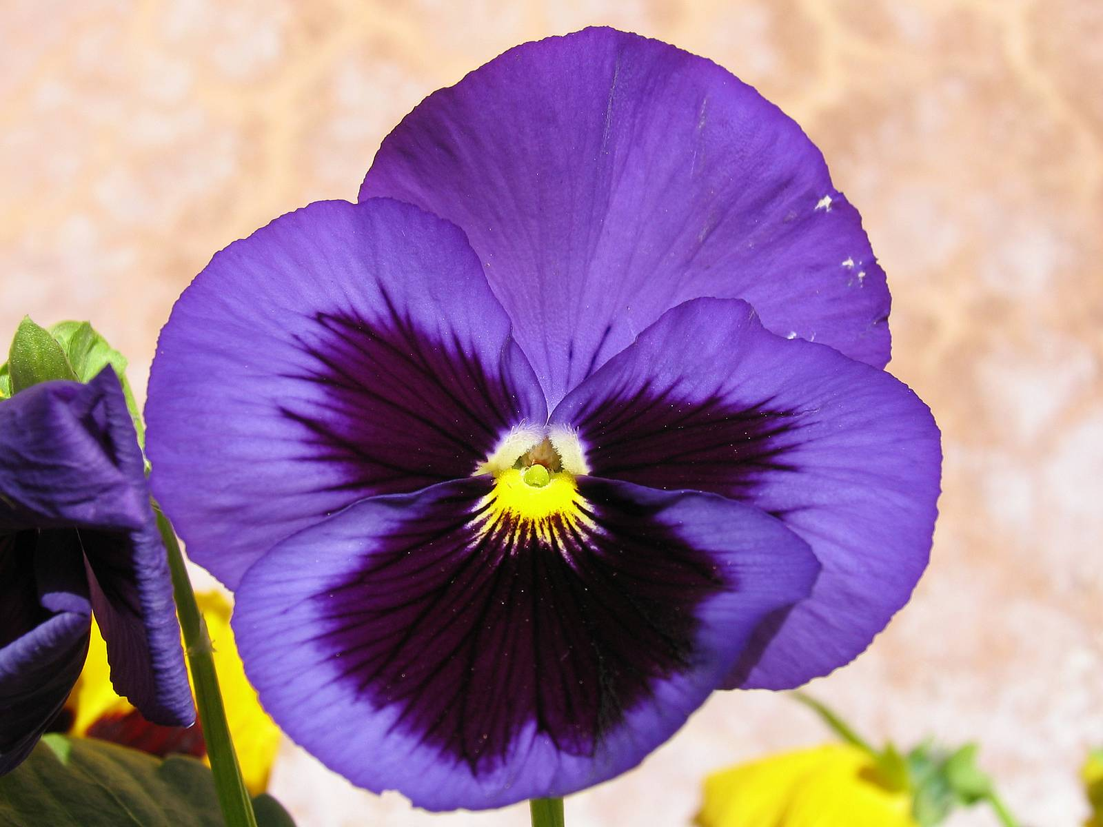 Pansy clipart viola flower #5
