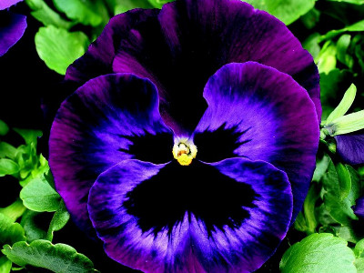 Pansy clipart viola flower #8