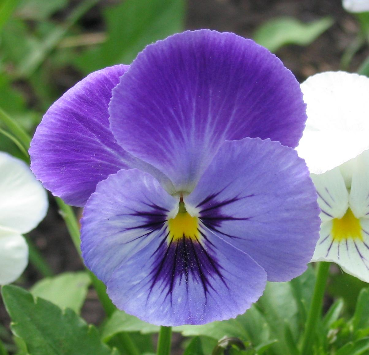 Pansy clipart viola flower #7