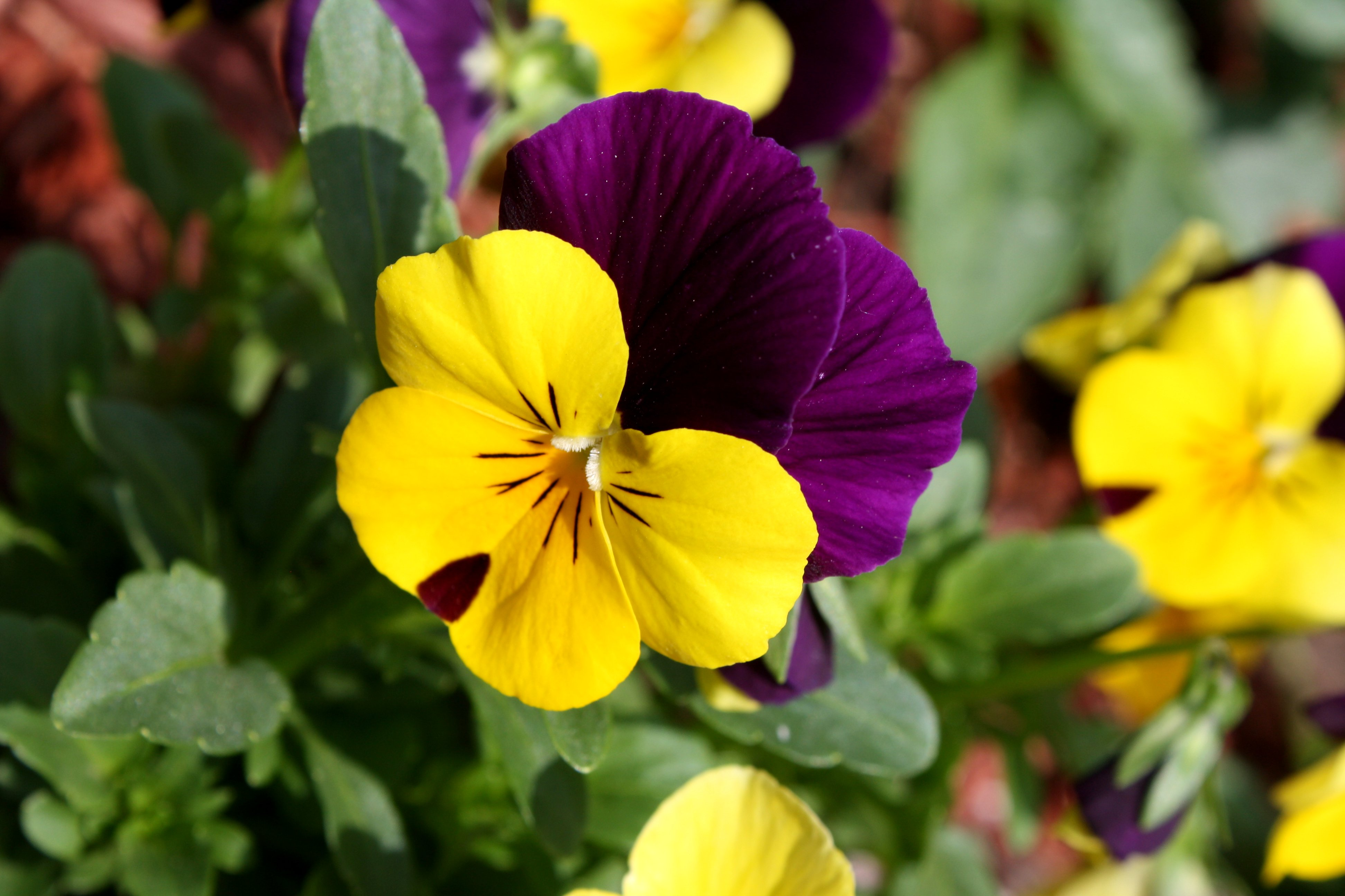Pansy clipart viola flower #6