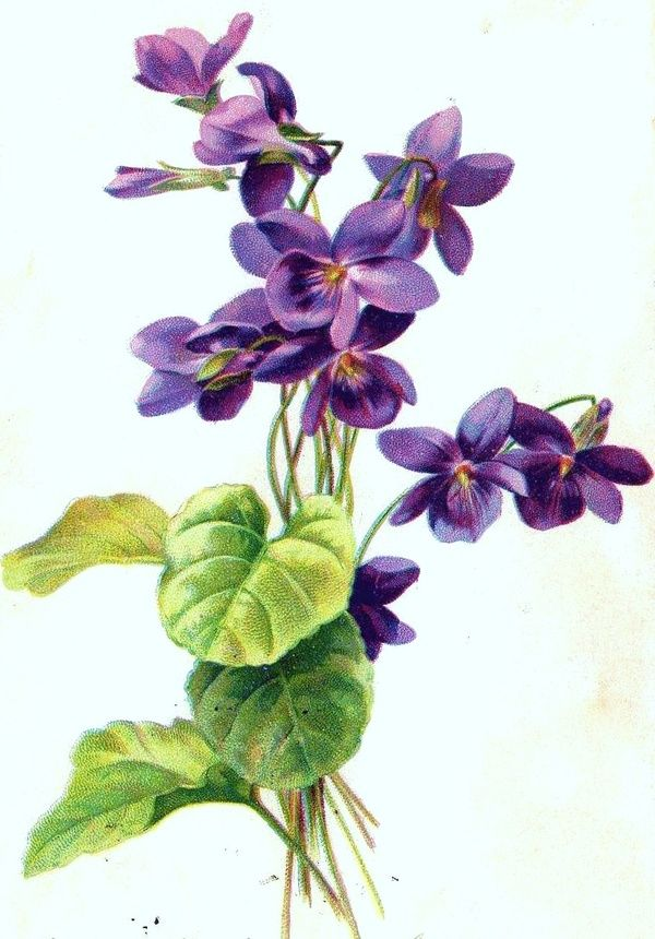 Pansy clipart viola flower #3