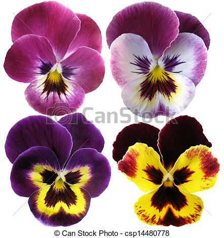 Pansy clipart violet flower White Pansies on Illustrations