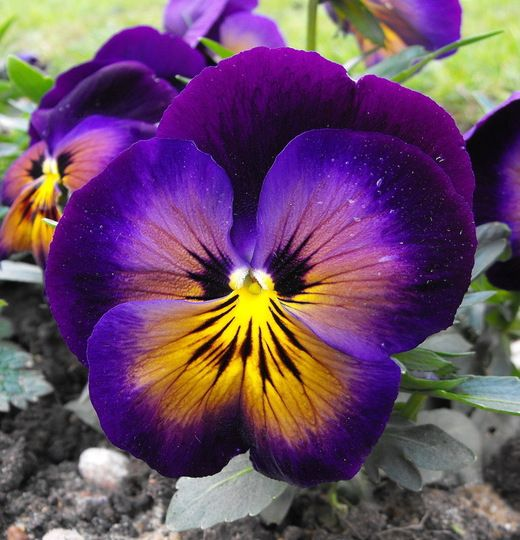 Pansy clipart violet flower Ideas Pansy and – Pinterest