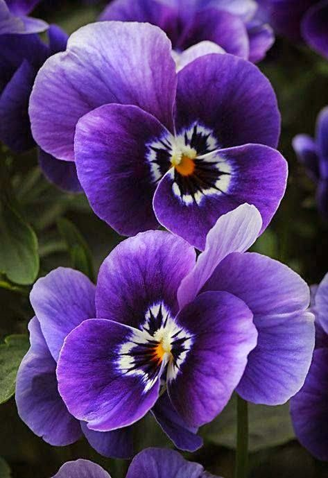 Pansy clipart violet flower Pansies on images about Pansies
