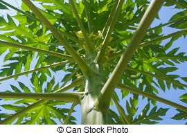 Papaya clipart in bloom  Stock trees Photo bloom