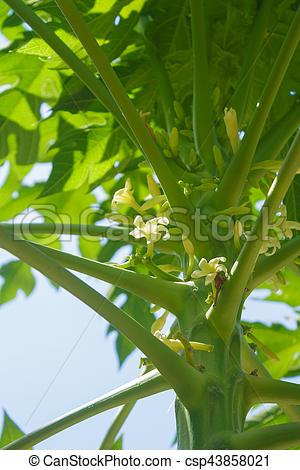 Papaya clipart in bloom  in csp43858021 fruit Stock