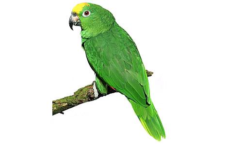 Brds clipart parrot Clipart white #Parrotclipart animals and