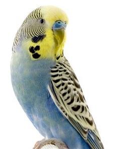 Brds clipart parakeet Parakeet parakeet Free Clipart