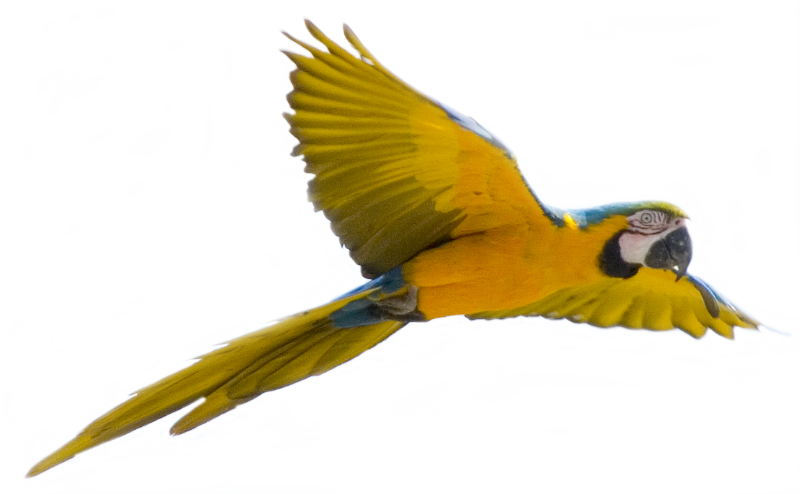 Yellow clipart parakeet Clipart PNG flying Clipart Clipart