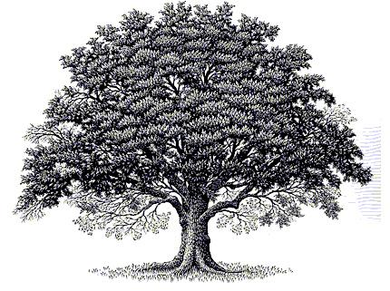 Tree clipart oak tree Clipart Oaktree art Narra White
