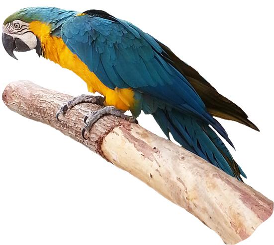 Brds clipart parrot Parrot Clip on Bird blue