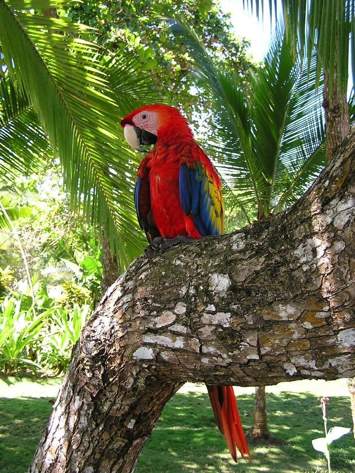 Parrot clipart costa rica On Costa soy Yo Parrot