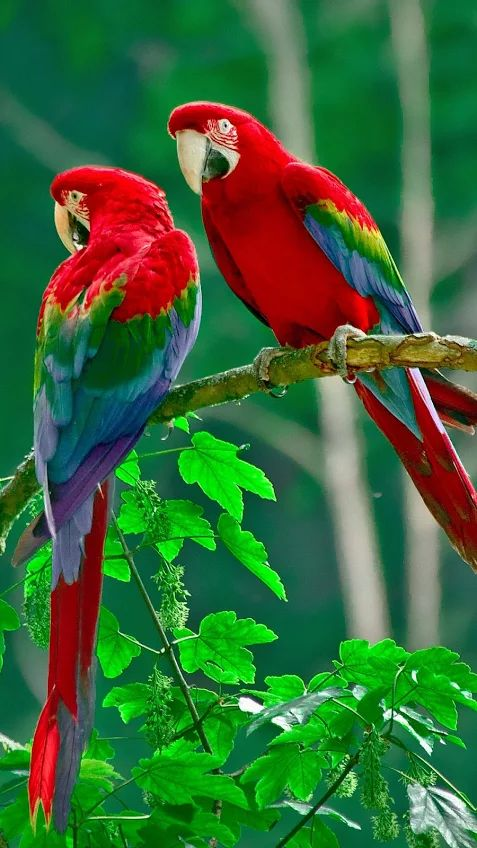 Parrot clipart costa rica Parrots America The ) and